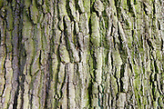 Bark of dead oak tree, Sherbourne, Gloucestershire, United Kingdom