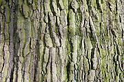 Bark of dead oak tree, Sherbourne, Gloucestershire, United Kingdom