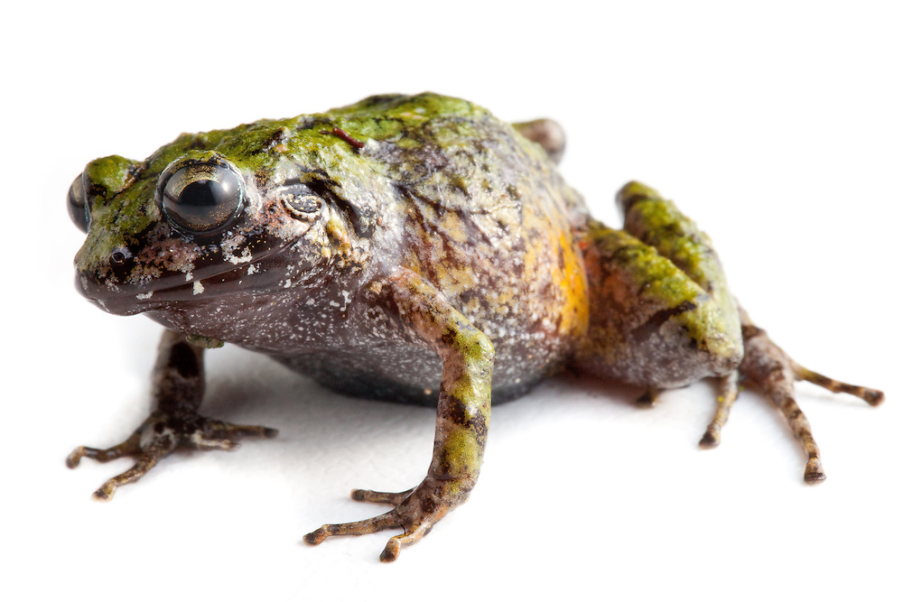 Short-Nosed Green Landfrog, Eleutherodactylus brevirostris, a Critically Endangered AZE species on the Massif de la Hotte, Haiti