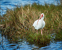 White Ibis. Black Point Wildlife Drive, Merritt Island National Wildlife Refuge. Image taken with a Nikon D3s camera and 70-200mm f/2.8 lens with a 2.0 TC-E III teleconverter (ISO 200, 400 mm, f/5.6, 1/320 sec).