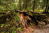 Ross Creek Cedars Scenic Area, Montana, Western Red Cedars, forests, roots, dead