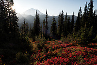 Fall colors adorn the ground cover in Mt Rainier National Park, Washington.