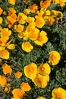 California Poppies (Eschscholtzia californica) cover the foothills of Mt. Franklin in El Paso, Texas.