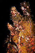 Israel, Eilat, Red Sea, - Underwater photograph of a Frogfish