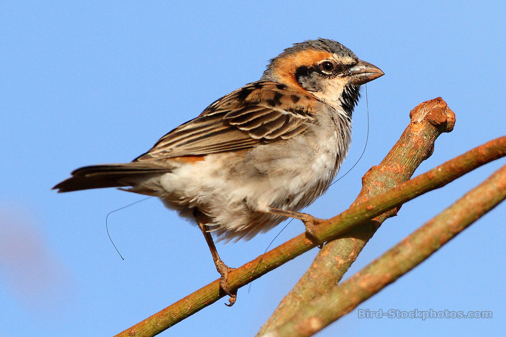 Shelley's Sparrow, Passer shelleyi, Ethiopia, by Markus Lilje