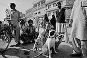 """A man show his young dogfighter on the main road. During the first days in winter time, the best way to organize fighting and aggression tests between dog fight is to show out of the homes or places of high attendance, the mastiffs. Rawalpindi, Pakistan, on thursday, November 27 2008.....According to the Islamic tradition, angels do not enter a house which contains dogs. Even if they are considered """"ritually unclean"""" by the jurists, the fighting dogs of Pakistan are tolerated by institutions and by believers alike. These mastiffs are grown and trained explicitly for these matches. Spectators in this area flock-in from nearby villages whenever a famous dog is scheduled to enter the arena. And this is more than just a show: entire families base their social esteem on the results of such bloody confrontations."""