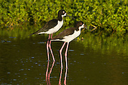 Hawaiian Stilt photos