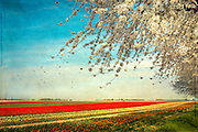 Tulip flower field and cherry tree in bloom - Germany, Neus. Texturized photograph.