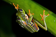 A mating pair of Red-eyed Tree Frogs (Agalychnis callidryas) in amplexus, Bocas del Toro, Panama