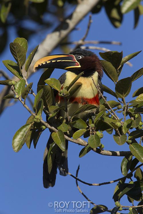 Chestnut-eared Araçari (Pteroglossus castanotis), Pantanal, Brazil
