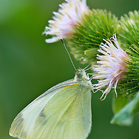 Close-up of a small cabbage white butterfly (Pieris rapae) feeding on common burdock (Arctium minus) at the Doyles River trailhead, Shenandoah National Park, Virginia.  Both of these species are alien and have been introduced to North America.