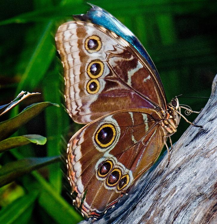 Blue Morpho (Morhpo pelides)