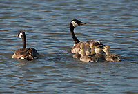 A Canadian Goose family takes a swim across a northern Utah marsh pond.