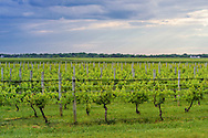 Vineyard, 6175 Oregon Road, Cutchogue, NY
