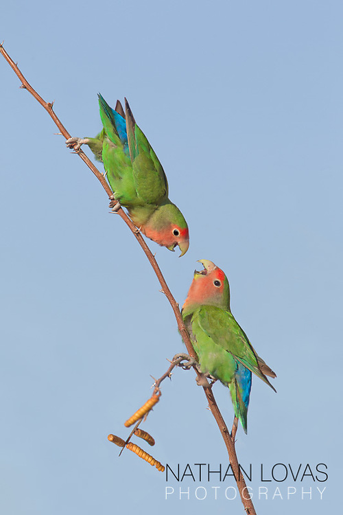 Peach faced love birds on branch;  Arizona.