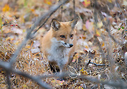 A Red fox walks through fallen leaves in a forest.