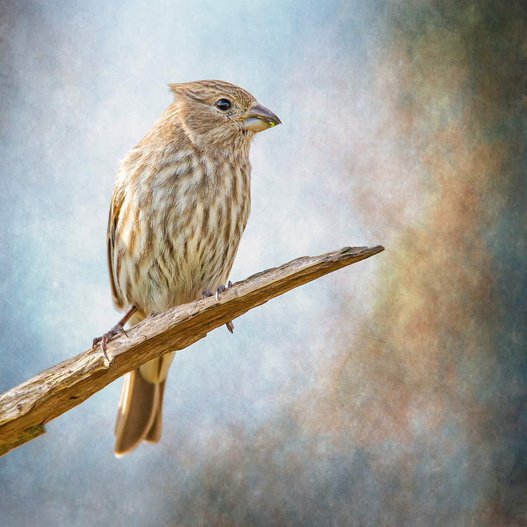 A Female House Finch Perched Against A Textured Blue Backdrop