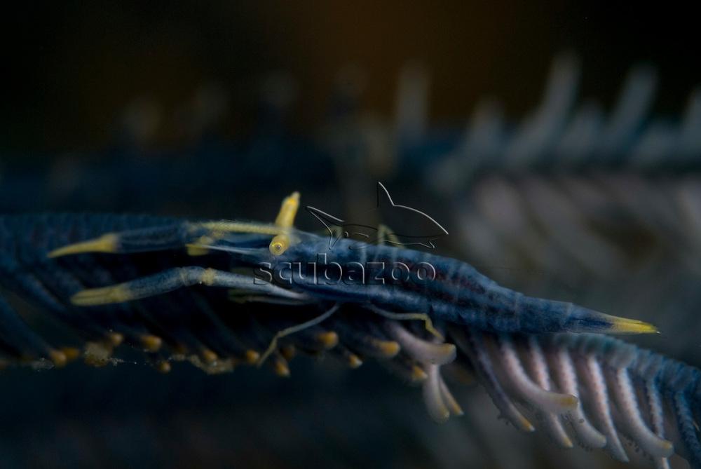 Chrinoid Shrimp, Periclimenes amboinensis, KBR, Lembeh Strait, Sulawesi, Indonesia.