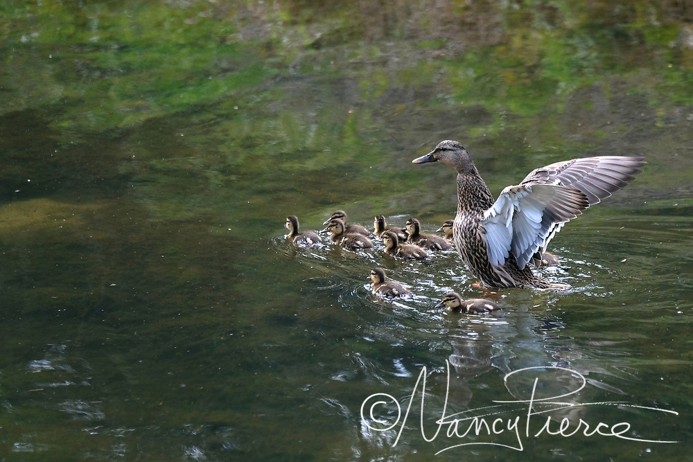 Duck family on Little Sugar Creek near Thompson Park