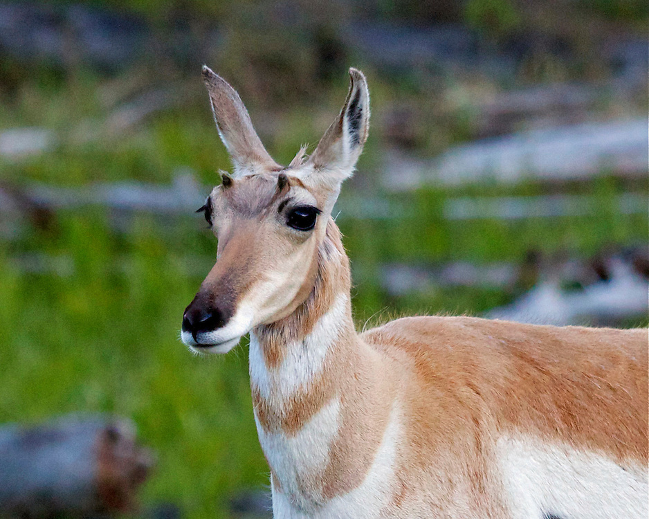 Female Pronghorn, Yellowstone National Park