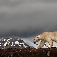 King of the Mountain<br /> Polar Bear<br /> Svalbard<br /> Spotting wildlife is never guaranteed. In fact, at times it feels like Mother Nature is actively advising her creatures to hide from me. But every now and then, she surprises you with a scene that goes beyond your wildest dreams. This was the case for these courting polar bears in the high arctic.<br /> <br /> On the final full day of my 11 day Svalbard expedition, we sailed to a location not typically known for hosting polar bears. I was sad that, in all likelihood, I had already seen the trip's last polar bear. But it had been a good trip for bears; with 20 or so sightings around the archipelago, and the weather on this day was great. The low angle polar sun provided perfect photographic conditions. Lots of light, blue sky, and puffy clouds. We manned the zodiacs with the goal of bird photography. I observed these two bears and the agenda quickly shifted&hellip;.<br /> <br /> In this scene, a large adult male bear is following an adult female. When the two were in frame, the sexual dimorphism between them was striking. But despite his substantial size advantage, the male behaved like a nervous teenager that lacks the courage to ask for a date. The female played it cool. Mostly ignoring him as she sniffed the beach, occasionally giving him a playful glance back. This ballet went on for over 2 hours. These bears had each other&rsquo;s full attention; my zodiac and I weren&rsquo;t given a passing glance. Here the male polar bear appears to be sandwiched between the clouds and the red earth, as he moves in the direction of the female. A white bear is supposed to be on white snow or ice, but this photo may be representative of what our future holds in a warming climate.<br /> <br /> The famous polar bear warning signs posted in Svalbard have the Norwegian words: &quot;Gjelder hele Svalbard&rdquo; and the image of a polar bear. Which means &ldquo;Polar Bears to be found all over Svalbard&rdquo;. The sweetest words in the Norwegian language rang true here, as this was not a typical polar bear ha