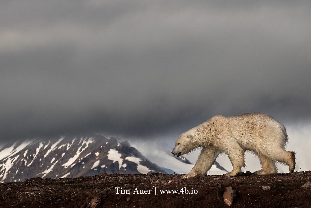 King of the Mountain<br /> Polar Bear<br /> Svalbard<br /> Spotting wildlife is never guaranteed. In fact, at times it feels like Mother Nature is actively advising her creatures to hide from me. But every now and then, she surprises you with a scene that goes beyond your wildest dreams. This was the case for these courting polar bears in the high arctic.<br /> <br /> On the final full day of my 11 day Svalbard expedition, we sailed to a location not typically known for hosting polar bears. I was sad that, in all likelihood, I had already seen the trip's last polar bear. But it had been a good trip for bears; with 20 or so sightings around the archipelago, and the weather on this day was great. The low angle polar sun provided perfect photographic conditions. Lots of light, blue sky, and puffy clouds. We manned the zodiacs with the goal of bird photography. I observed these two bears and the agenda quickly shifted&hellip;.<br /> <br /> In this scene, a large adult male bear is following an adult female. When the two were in frame, the sexual dimorphism between them was striking. But despite his substantial size advantage, the male behaved like a nervous teenager that lacks the courage to ask for a date. The female played it cool. Mostly ignoring him as she sniffed the beach, occasionally giving him a playful glance back. This ballet went on for over 2 hours. These bears had each other&rsquo;s full attention; my zodiac and I weren&rsquo;t given a passing glance. Here the male polar bear appears to be sandwiched between the clouds and the red earth, as he moves in the direction of the female. A white bear is supposed to be on white snow or ice, but this photo may be representative of what our future holds in a warming climate.<br /> <br /> The famous polar bear warning signs posted in Svalbard have the Norwegian words: &quot;Gjelder hele Svalbard&rdquo; and the image of a polar bear. Which means &ldquo;Polar Bears to be found all over Svalbard&rdquo;. The sweetest wor