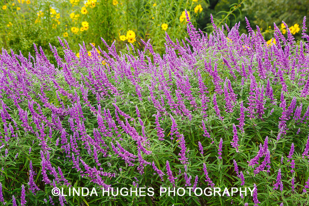 Purple Salvia Blooming in a late summer garden
