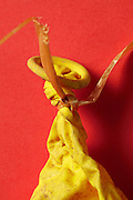 Close up of the knot in a deflated balloon with broken string