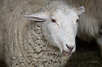 A placid ewe chewing a mouthful of hay.