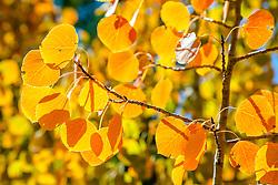 """Autumn Aspen Leaves 1"" - Photograph of orange and yellow aspen leaves, shot in Autumn."