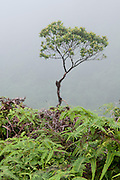 A single tree in the fog of a hiking trail on Oahu, Hawaii.
