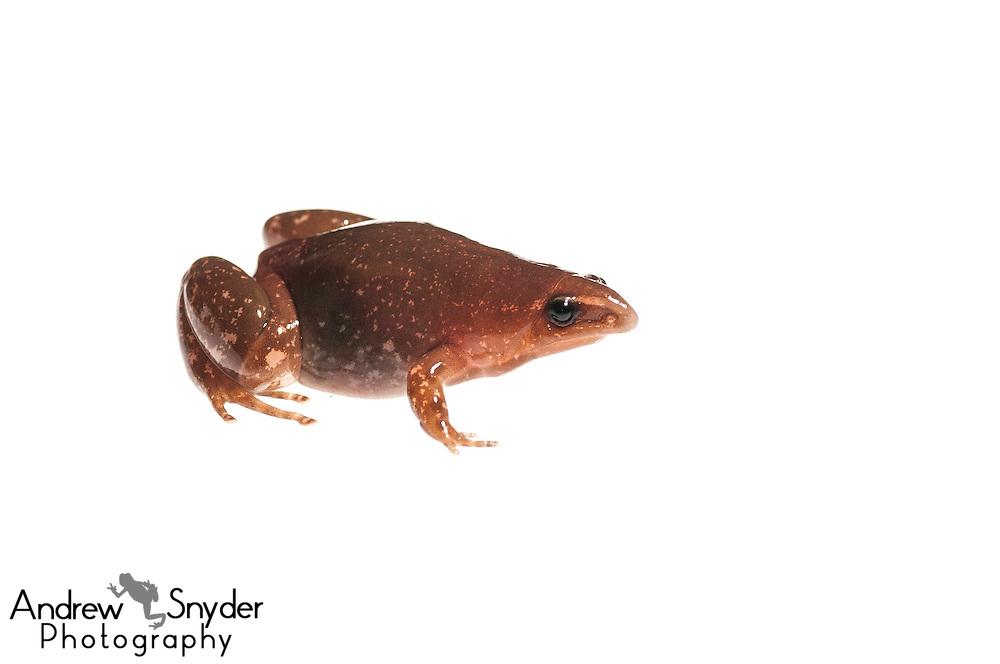 Timbo Disc frog (Synapturanus salseri) -Chenapau, Guyana
