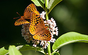 Great Spangled Fritillary; on Common Milkweed; PA, Philadelphia, Schuylkill Center