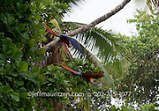 Scarlet macaws take flight from a Beach almond tree in Corcovado National Park, Costa Rica.