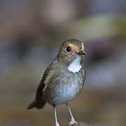 The rufous-browed flycatcher (Anthipes solitaris) is a species of bird in the family Muscicapidae. Its natural habitat is subtropical or tropical moist montane forests.