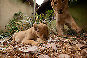 Oranje, an 18 month old orphan lion (Panthera leo) with Dash an unrelated two month old male lion cub, on the grounds of the Chipangali Wildife Orphanage in Bulawayo, Zimbabwe.