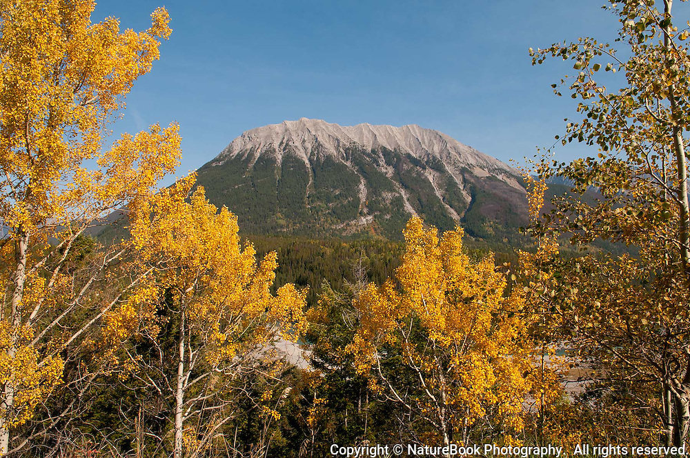 Golden aspen leaves brighten the landscape in late fall near Banff National Park in Western Canada.