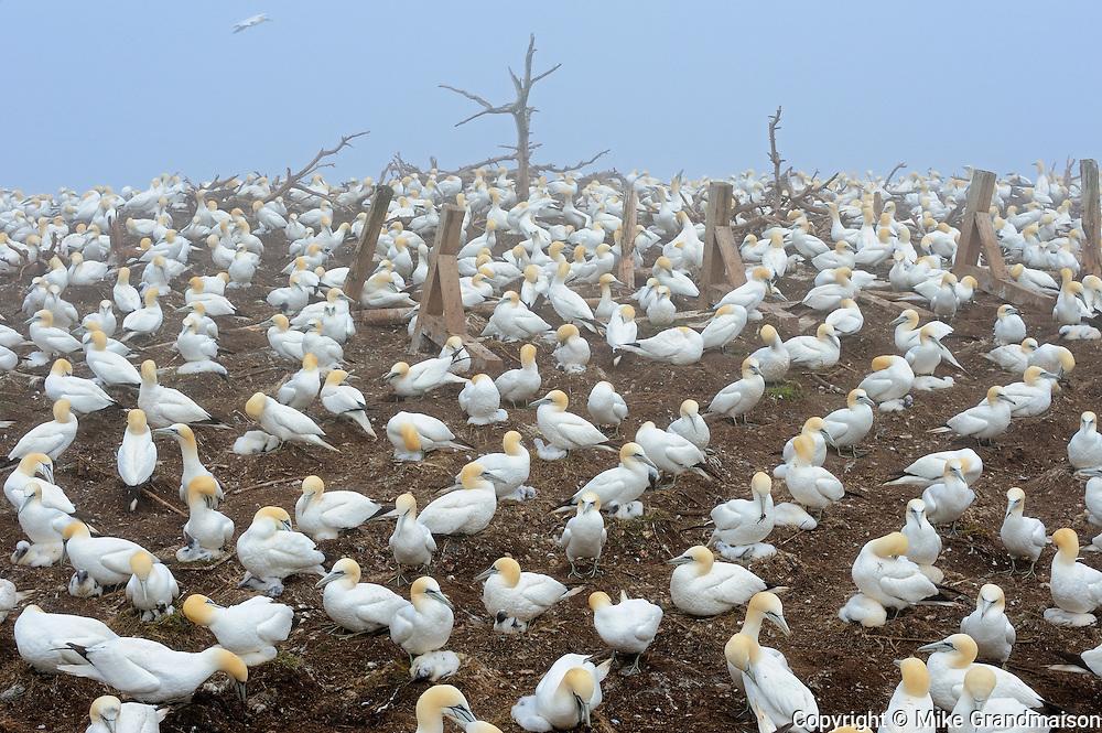 Colony of northern gannets (Morus bassanus) off the Atlantic Ocean<br /> Bonaventure Island<br /> Quebec<br /> Canada