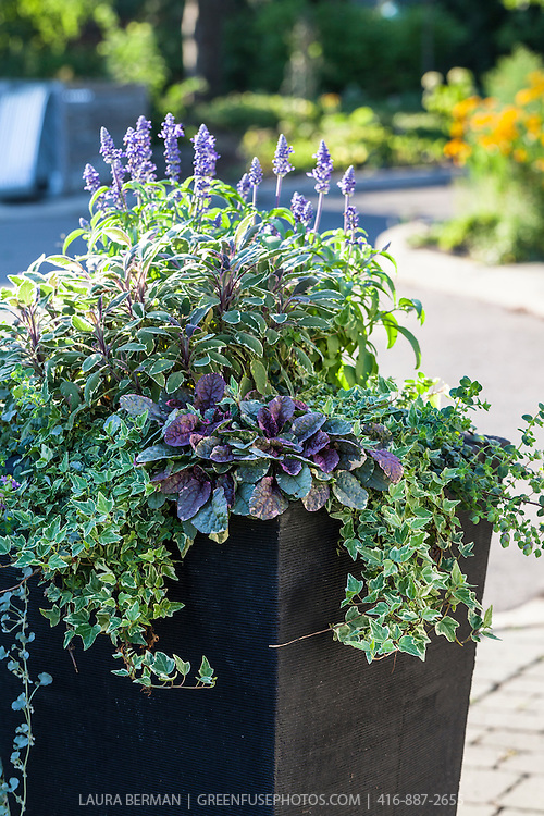 A mixture of ornamental, annual salvia,  edible variegated sage and Ajuga reptans 'Burgundy Glow' with ivy and other plants in a container garden.