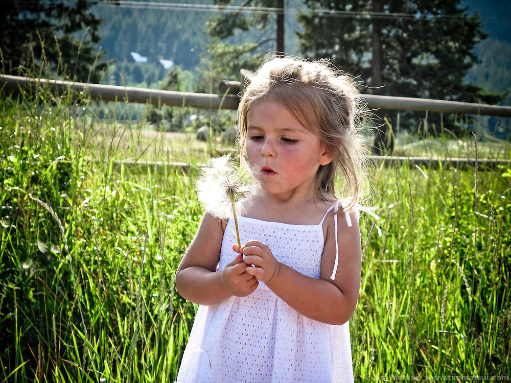 A young girl, 5 years old, stands in a rural grass field at a farm and blows on a dandelion gone to seed.