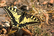 butterfly Papilio alexanor, Israel April 2004