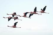 Pink flamingos flying at Lake Nakuru National Park, Kenya