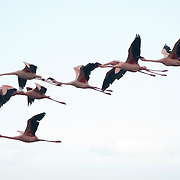 Pink flamingos flying at Lake Nakuru National Park, Kenya