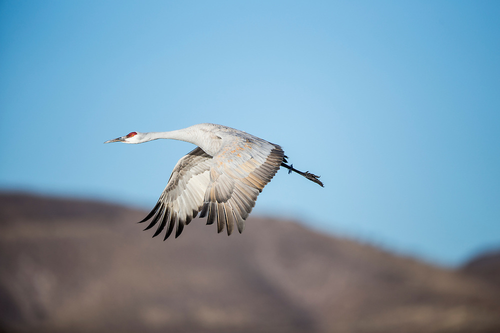 USA, New Mexico, Bosque del Apache National Wildlife Refuge, Lone Sandhill Crane (Grus canadensis) in flight above Rio Grande Valley on winter morning