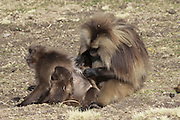 Africa, Ethiopia, Simien mountains, Gelada monkeys Theropithecus gelada grooming