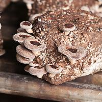 Shiitake mushrooms growing from sawdust innoculated with shiitake spawn (Lentinula edodes)