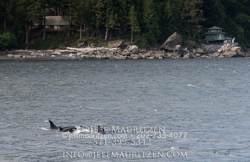 A pod of killer whales surface off the San Juan Islands in the Pacific Northwest.