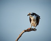 Osprey with a fish for dinner. Biolab Road in Merritt Island National Wildlife Refuge. Image taken with a Nikon D3x camera and 600 mm f/4 VR lens (ISO 400, 600 mm, f/5.6, 1/400 sec).
