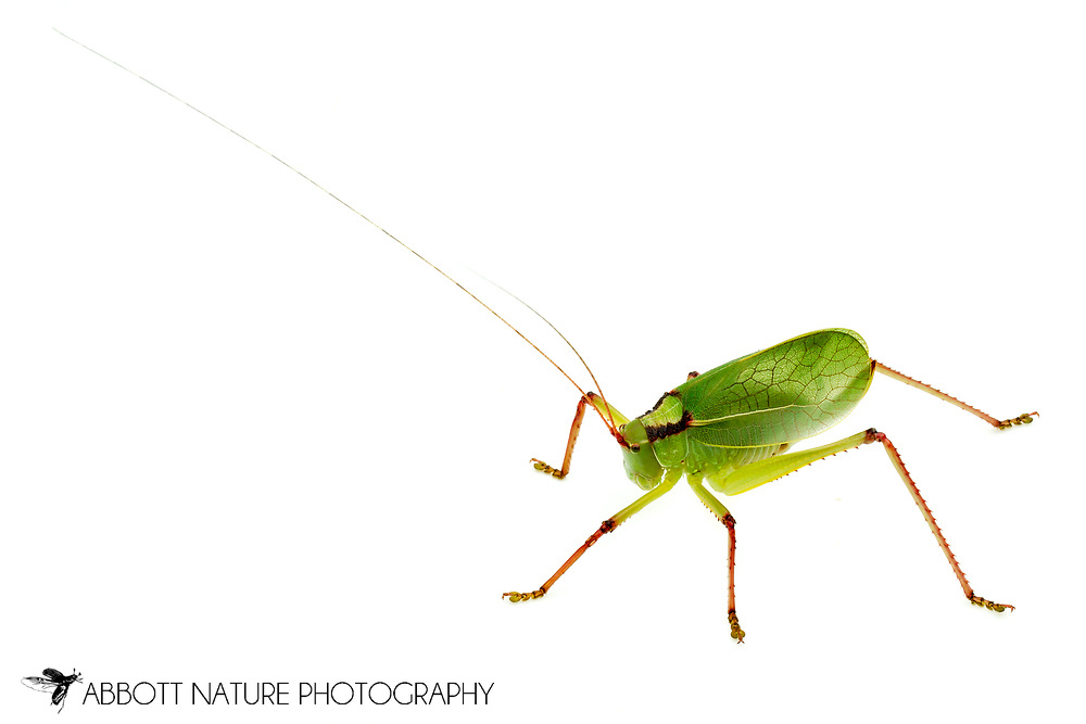 Truncated True Katydid (Paracyrtophyllus robustus)<br /> TEXAS: Blanco Co.<br />Pedernales Falls State Park<br />20-May-2012<br />J.C. Abbott #2592 &amp; K.K. Abbott