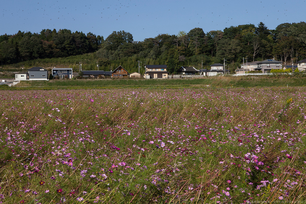Flowers blooming in uncultivated fields of Naha town.